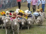 Emmaville Sheep Races